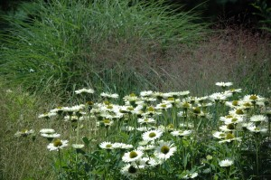Perennial Meadow Summer-04