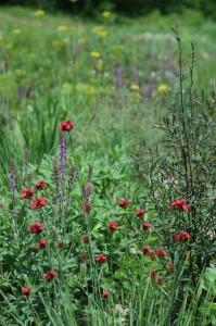 Perennial-Meadow-Spring-02